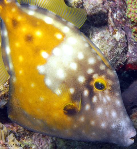 White Spotted Fil;e Fish