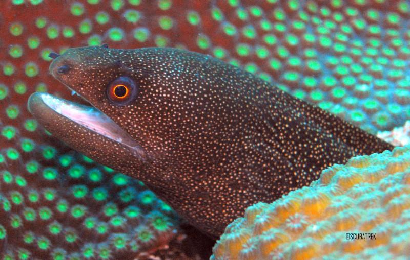 Golden Tail Eel