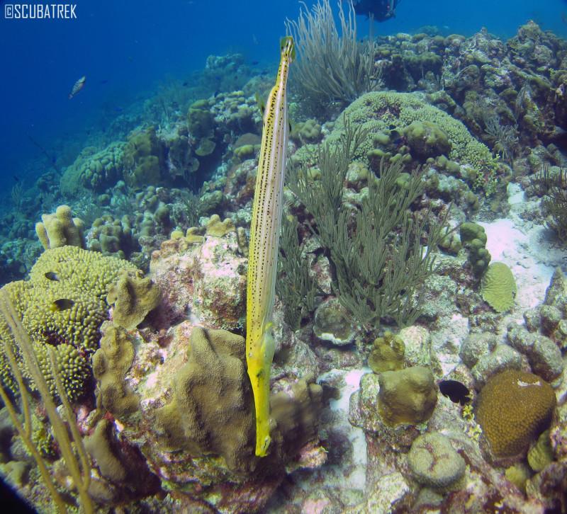 Yellow Trumpet Fish