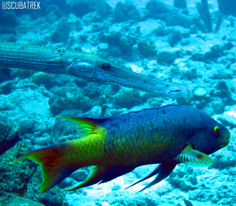 Spanish hog fish scubatrek underwater videography and for Fish in spanish